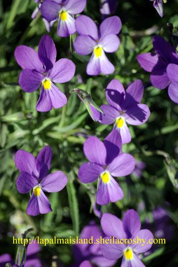 Viola palmensis, the palmeran violet