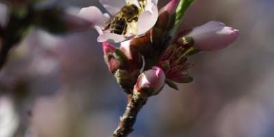 Almond blossom in Garafia, La Palma Island