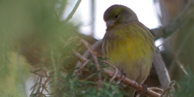 Wild Canary in a juniper tree, Roque de Los Muchachos, La Palma