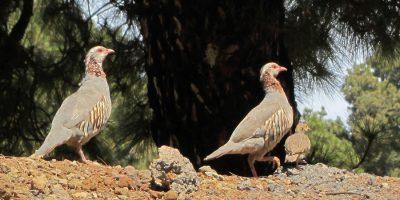 Barbary Partridges, Alectoris barbara koenigi