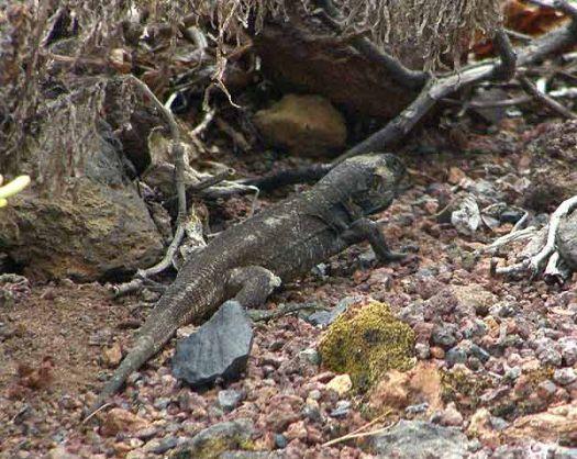 Gallotia auaritae, the giant Palmeran lizard