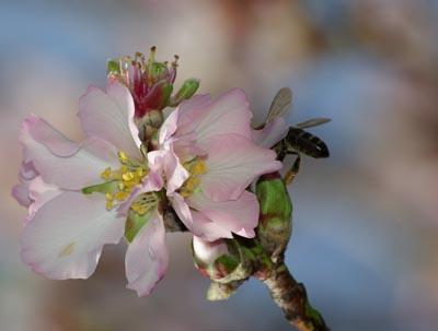 Almond blossom in Garafía, La Palma