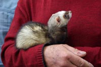A pet ferret being blessed in Fuencaliente, La Palma, Canary Islands