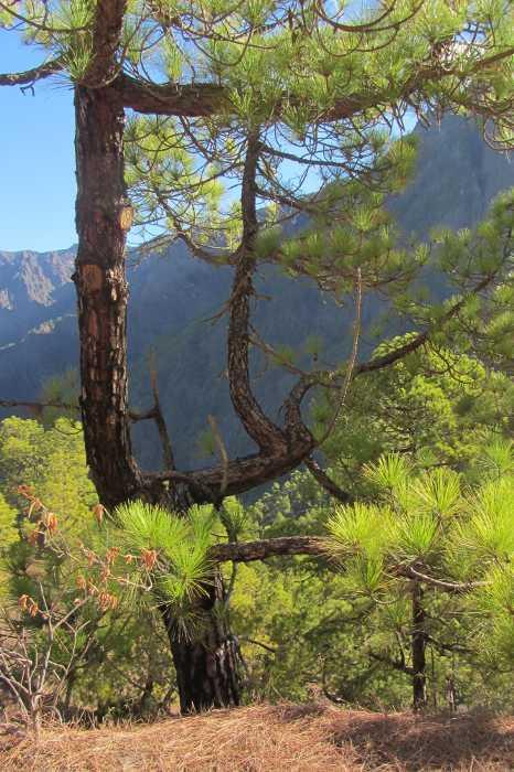 Canary pine , pinus canariensis