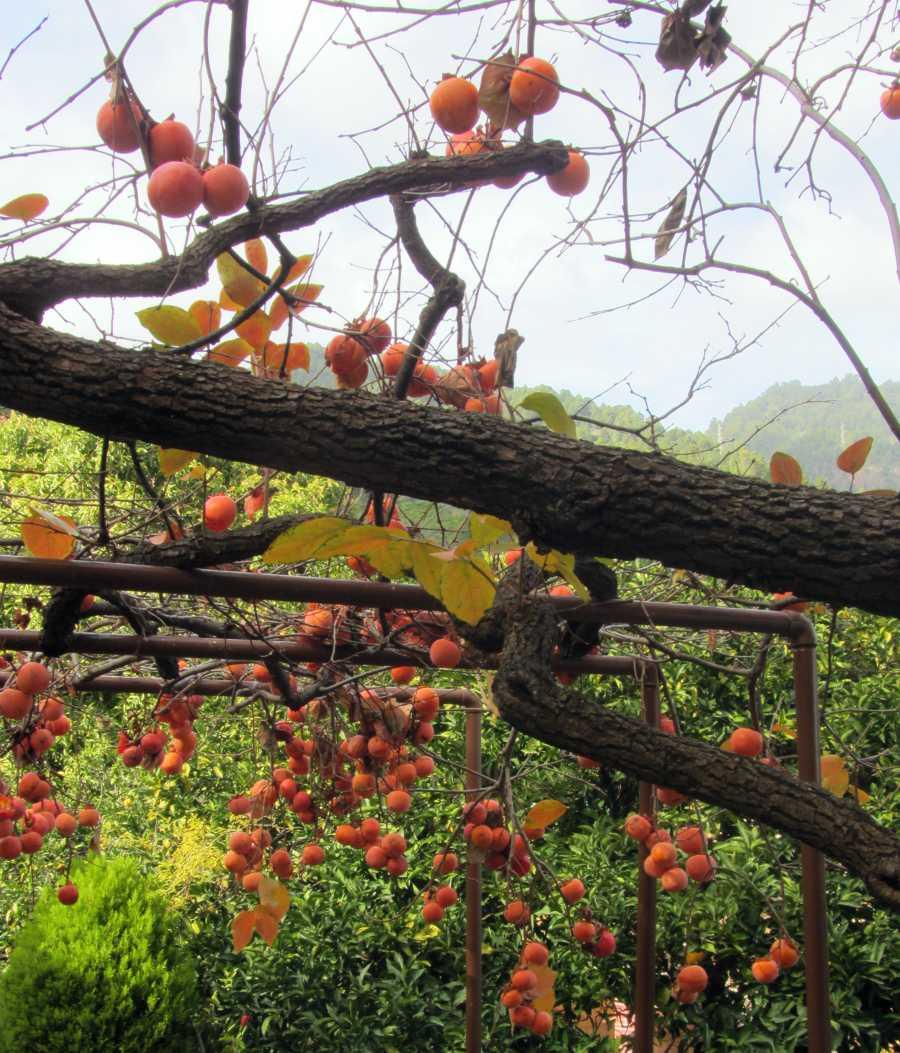Persimmon tree in Las Nieves, Santa Cruz., La Palma