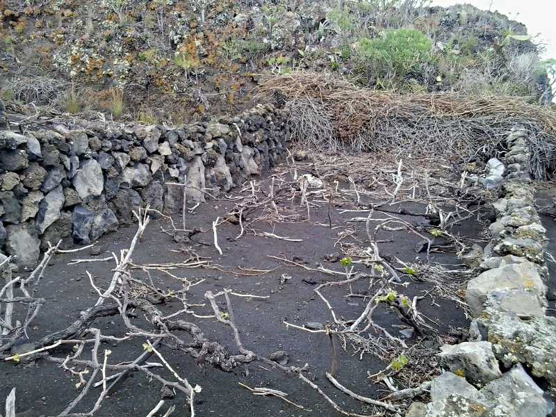 Vines growing low to the ground in Fuencaliente, surrounded by a drystone wall