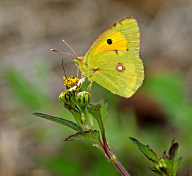 Burr marigold (Bidens alba) with Colias crocea butterfly