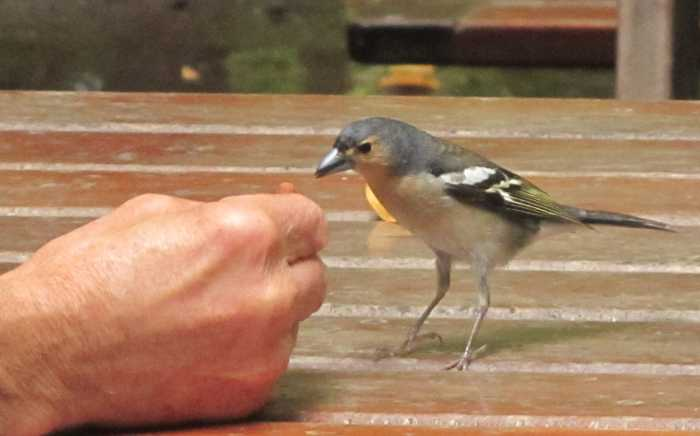 A Canary Chaffinch (Fringilla coelebs tintillon) eating from the park ranger's hand, Los Tilos, San Andres y Sauces, La Palma