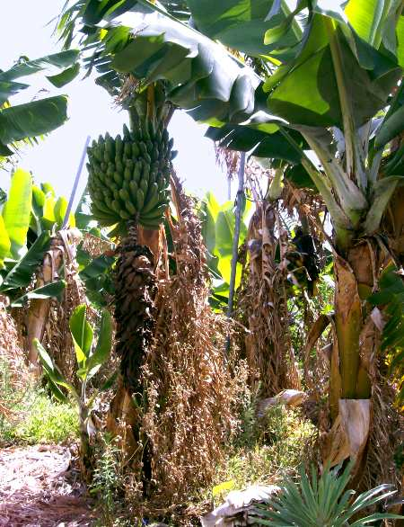 A banana treeshowing the bunch of growing bananas