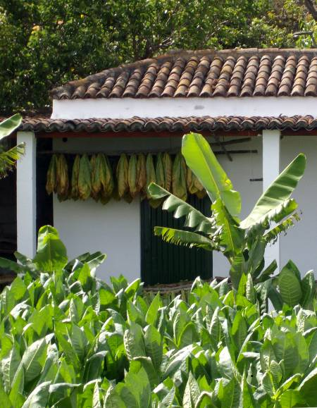 Tobacco growing in Breña Alta, La Palma