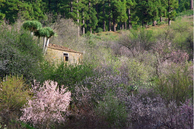 Almond blossom around an old barn with a dragon tree. Garafia, La Palma island