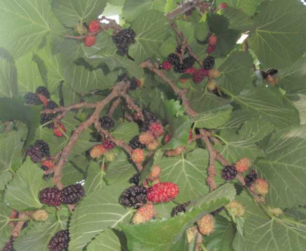 Mulberries growing in Breña Baja