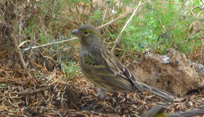 Wild canary,Serinus canaria, Roque de Los Muchachos, La Palma