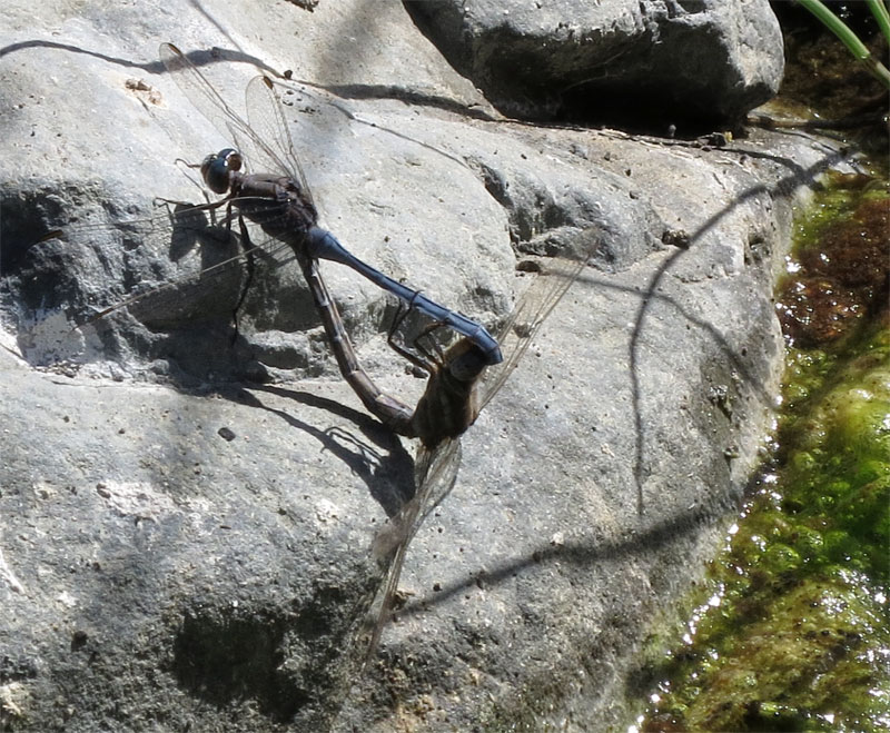 Dragonflies mating in the Caldera de Taburiente, El Paso, La Palma