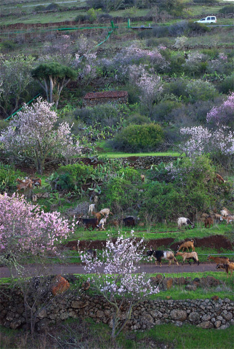 Almond blossom, goats and a dragon tree in Puntagorda, La Palma island