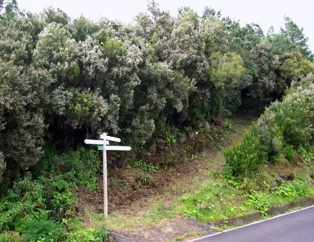 Tree heather on La Palma, Erica arborea