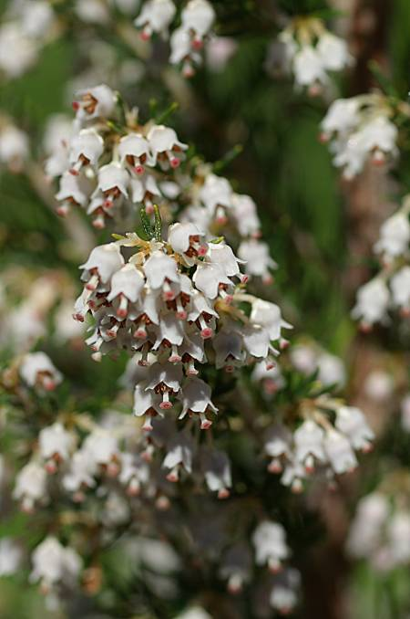 Close up of tree heather on La Palma, Erica arborea
