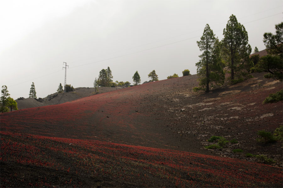The red stain creeping over the black gravel, Los Llanos del Jable, El PAso, La Palma island.