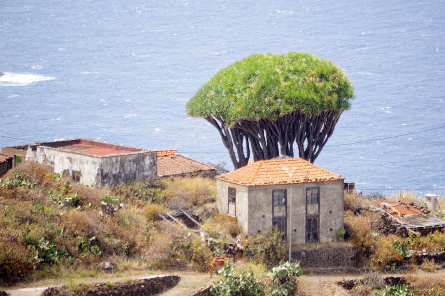 Traditional houses and a drago, El Tablado, Garafia, La Palma island