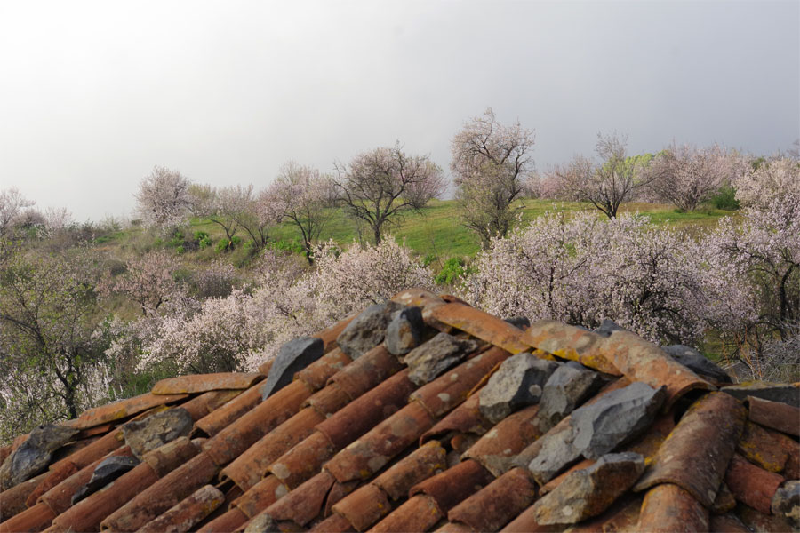 A barn in Garafia with ots of almond blossom, Garafia, La Palma island