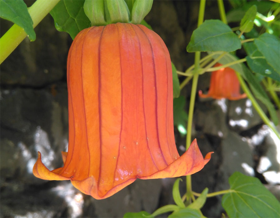 The Canary Bell flower, Canarina canariensis
