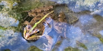 Little Perez's frog in the Caldera de Taburiente, La Palma